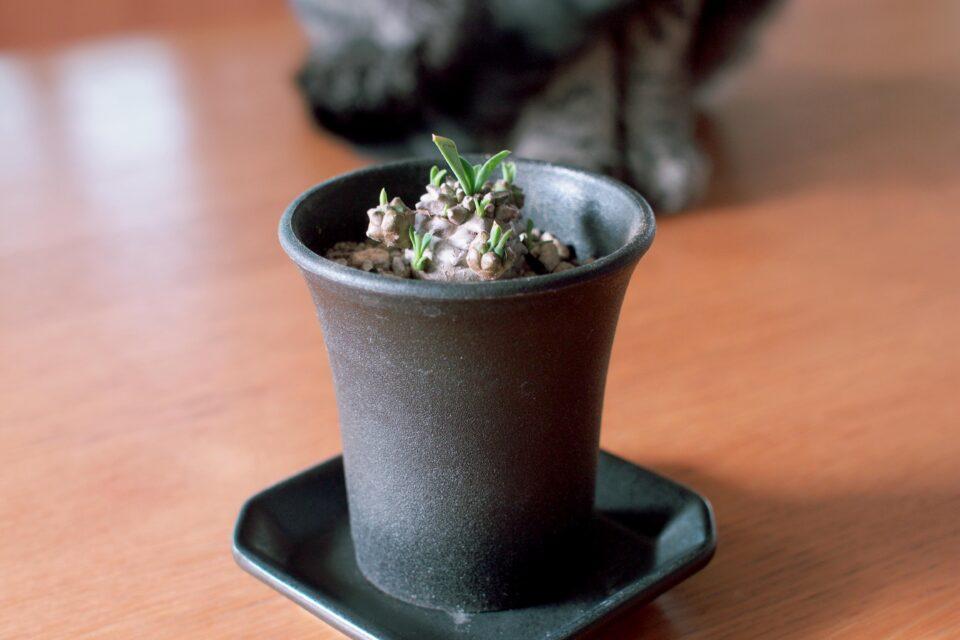 ミニ蘭鉢に植えた峨眉山