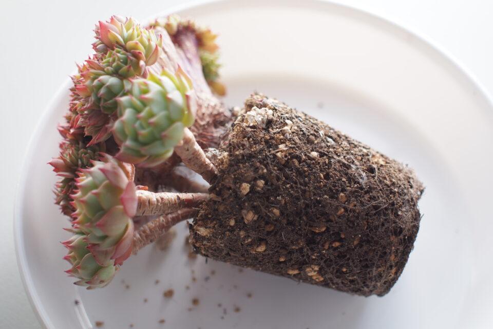 鉢から出した緑牡丹 多肉
