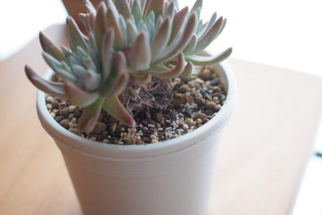 ダドレア グリーニーの茎