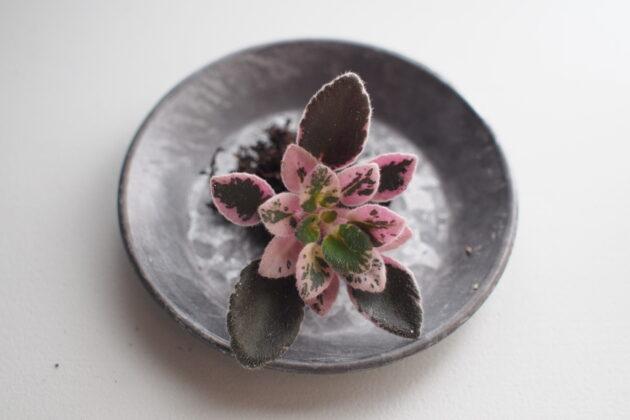 セントポーリア ミニ種