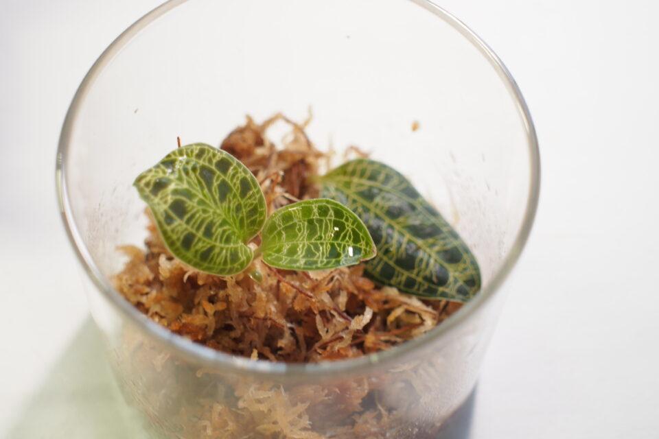 水苔に植えたマコデスペトラ